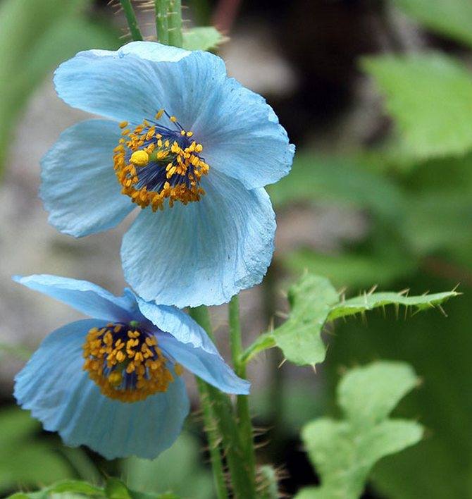 The Himalayan Blue Poppies found in the Valley of Flowers