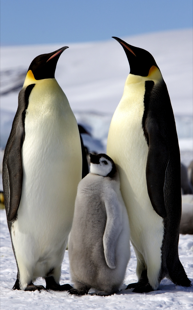 Antarctica is best known for being home to the Emperor Penguin.