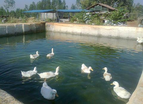 Ducks at the farm