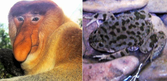 Left: A dominant male proboscis monkey at the Singapore Zoo, one of few places where captive animals of this species seem to thrive; Right: A juvenile Lake Titicaca Frog in a stream on Isla del Sol, Bolivia.