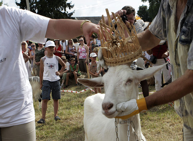 A beauty contest for goats