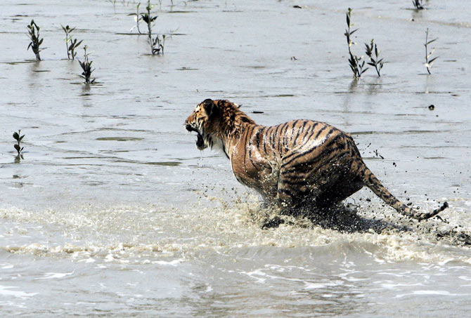 A tigress jumps into the waters of river Sundari Kati, after its release from a cage at Sunderbans, about 150 km (93 miles) south of Kolkata February 19, 2008. The pregnant tigress which strayed from deep inside a village on the fringes of the Sunderbans forest was rescued by the forest workers on Sunday after being stoned and badly beaten by villagers, a forest official said on Tuesday.