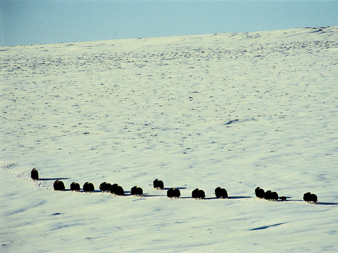 Adult muskox, the most adapted of all the Arctic species, with a newborn calf along the Canning River from foothills of the Brooks Range mountains to the coastal plain, Arctic National Wildlife Refuge.