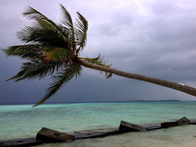 A coconut palm leans over the sea along one of the beaches at Maafushi.