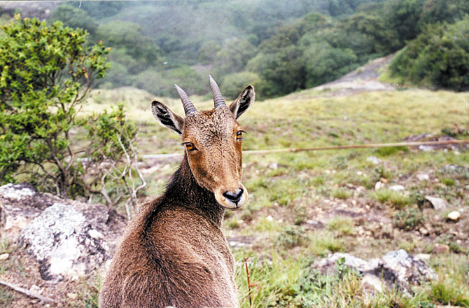 The Nilgiri Tahr, found in the Nilgiri Hills in Kerala and Tamil Nadu, is one of India's rarer species of goats.