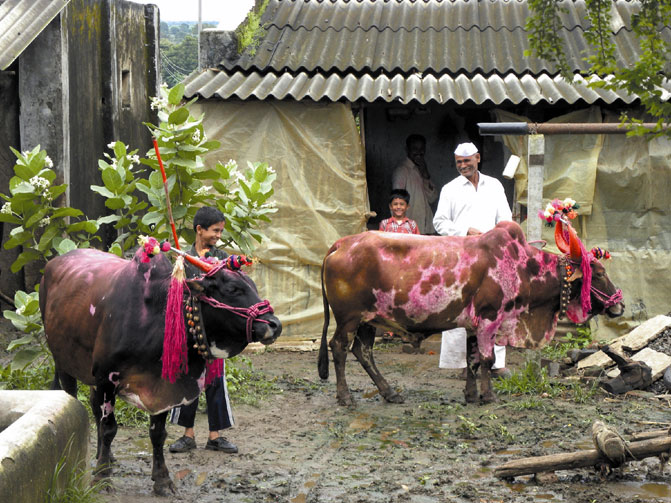 Bulls dressed up for Bel Pola, rural Maharashtra. They will be fed Puran Polis (lentil stuffed sweet breads).