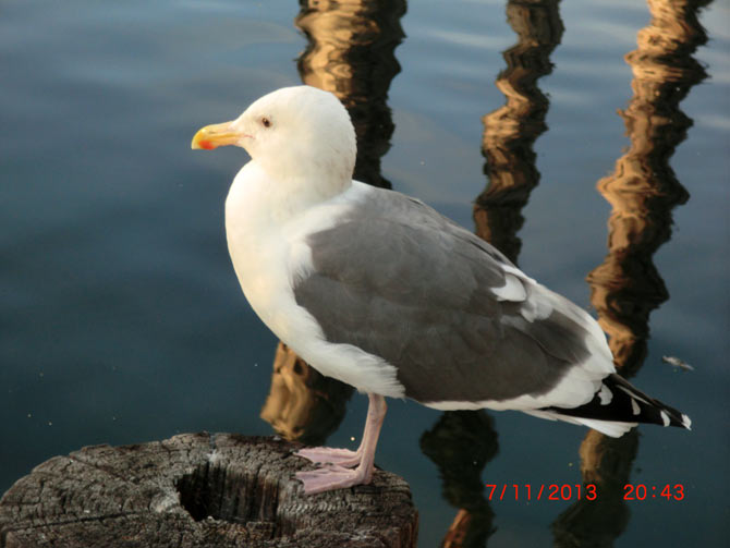 A Seagull at San Diego, California, USA
