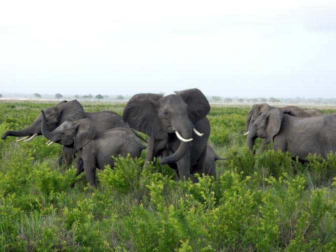 A herd of elephants at the Mikumi National Park, Tanzania.