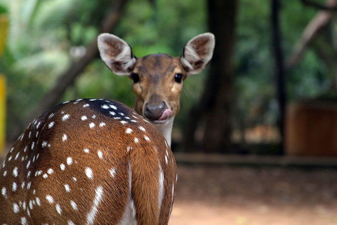 Deer at Guindy park, Chennai