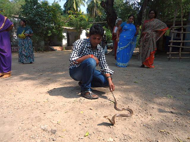 P Manimegalai, also known as Snake Mani catches a snake in a Madurai village