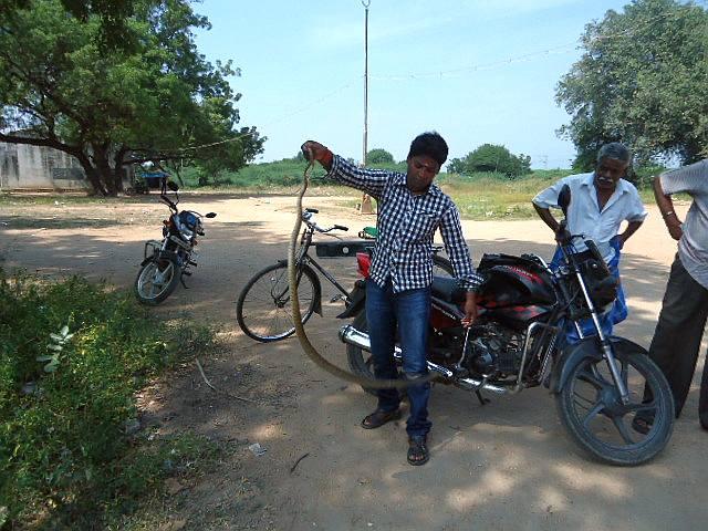 P Manimegalai catches a snake in a Madurai village