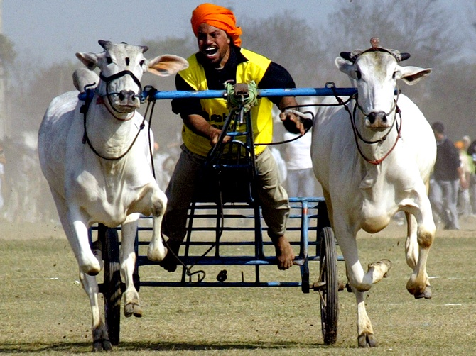 A villager competes in a bullock cart race during the Kila Raipur sports festival on the outskirts of Ludhiana in Punjab. The festival, also known as the 'Rural Olympics', is held annually in the northern city and the competition attracts athletes from all over India.