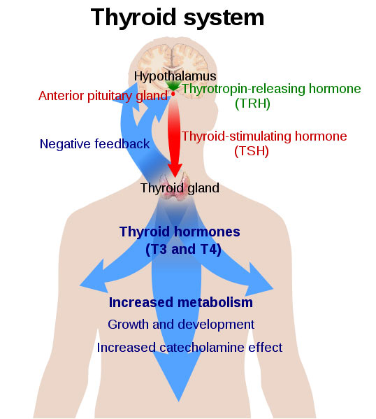 7. Your thyroid function is normal when..