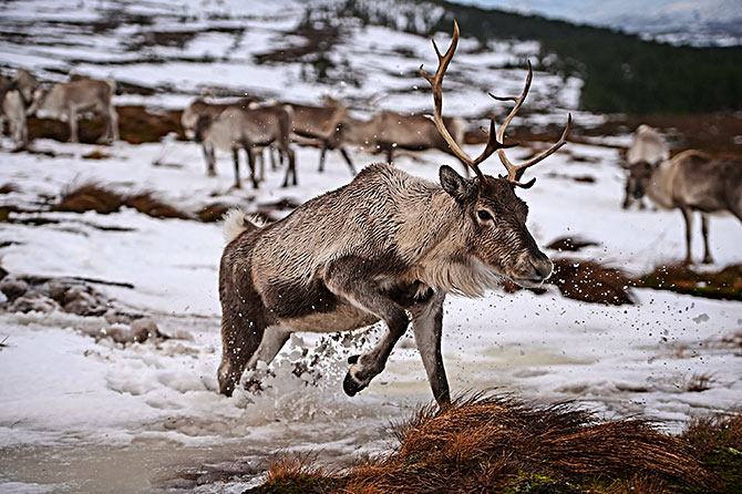 Reindeer in Scotland