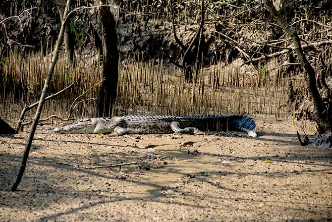 A white crocodile at Bhitarkanika National Park