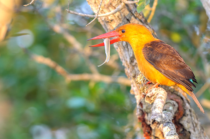 A brown winged kingfisher at Bhitarkanika national park
