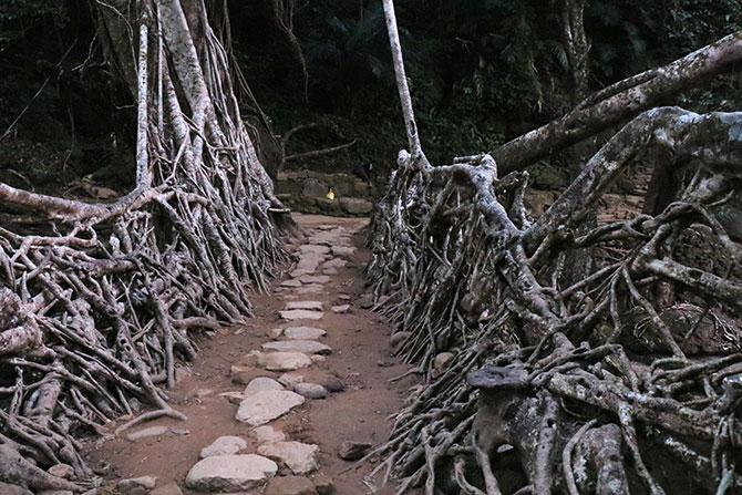 Up close, the root bridge of Meghalaya