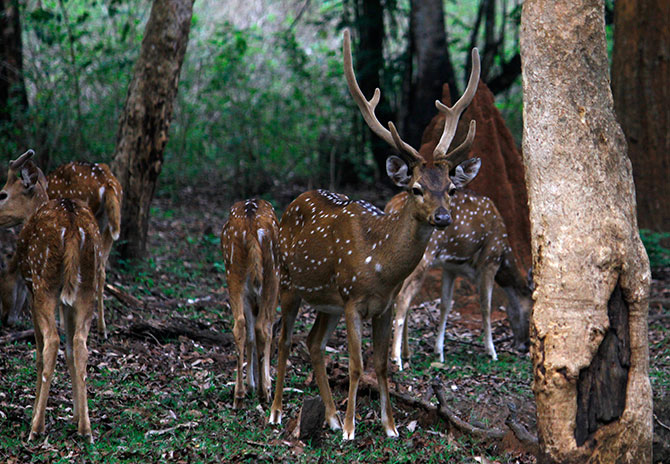 Deer in the Kabini National Park
