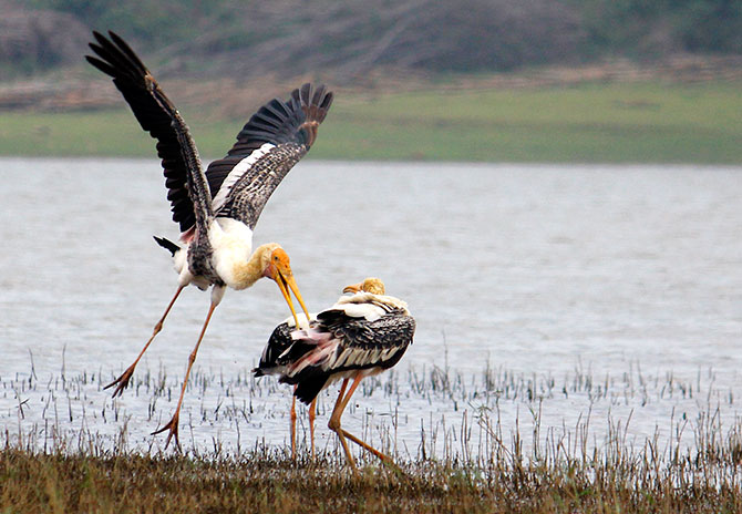 Painted storks in the Kabini National Park