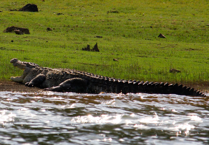 Crocodiles enjoy the sun in the Kabini park.