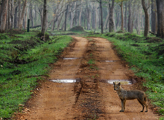 A fox in the Kabini National Park.