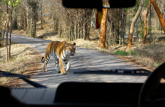 A rare sighting of the majestic tiger in the Bannerghata National Park, Karnataka. All photographs: Rajesh Karkera/Rediff.com