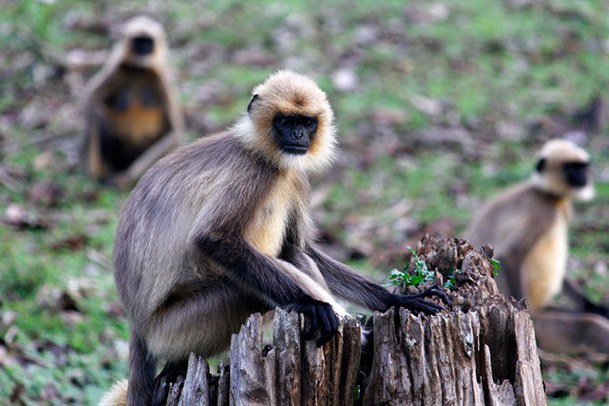 Langurs in the Nagarhole forest, Karnataka