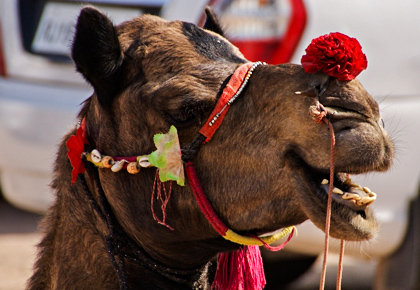 Latest News from India - Get Ahead - Careers, Health and Fitness, Personal Finance Headlines - Have you seen a camel smiling?