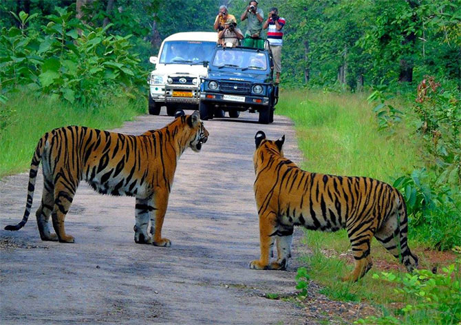Watch: When I spotted four tigers with a kill - Rediff com Get Ahead