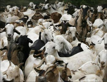Goats gather to drink water at a community dam.