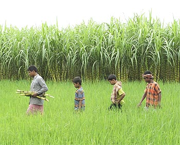 Farmers walk through a field at Moynaguri village, about 66 km north of Siliguri.
