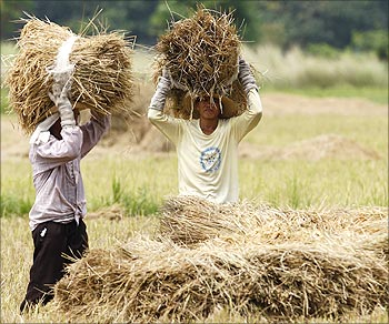 Farmers harvest rice.