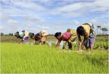 Farmers plant saplings in their rice field near Ranchi.