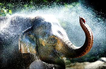 An elephant at Rotterdam Zoo splashes water over itself during the hot weather with temperatures rising in Rotterdam.