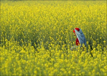 A woman walks in a mustard field in a village near Jhajjar in Haryana.