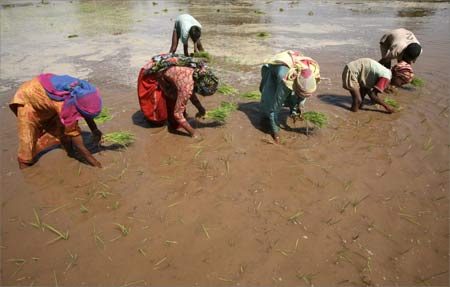 Farmers plant saplings in their paddy field.