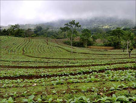 A tobacco plantation