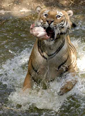 A Royal Bengal tiger at Nehru Zoological Park in Hyderabad. | Photograph: Krishnendu Halder/Reuters