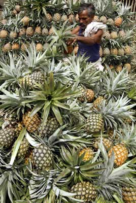 A labourer arranges pineapples at a wholesale fruit market in Siliguri.