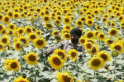 A farmer walks through his sunflower crop in a farm at Dayalpura village in Punjab.
