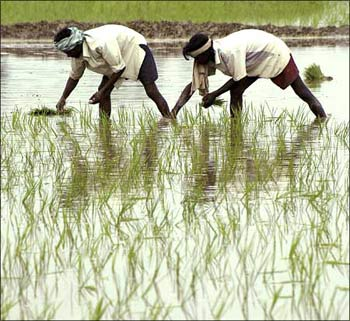 Farmers working in a paddy field.