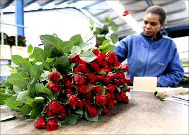 A worker arranges roses for export to the Europe at the Maridadi flowers' warehouse in Naivasha.