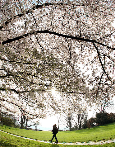 A man walks past a blooming tree in Zurich.