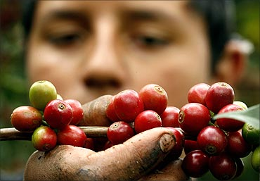 Moises Araya, 12, picks red ripe coffee beans at a plantation in San Miguel de Naranjo, San Jose.