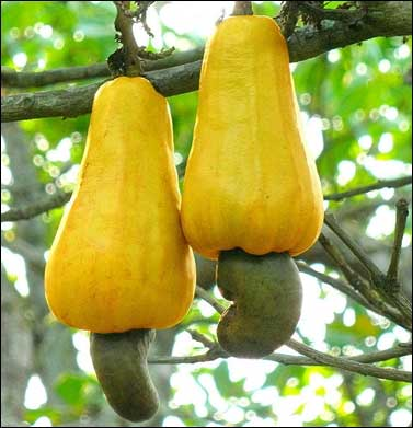 India, one of the largest producer of cashew nuts.