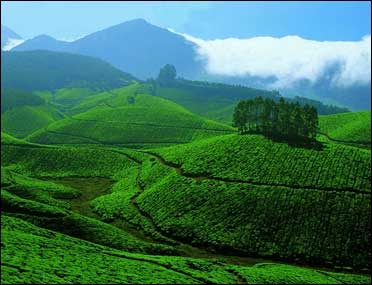 India, a leading exporter of tea.
