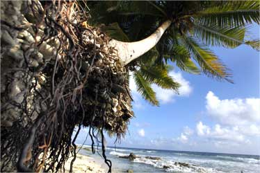 Palm trees are endangered by erosion at a beach at Fuvahmulah, Maldives.
