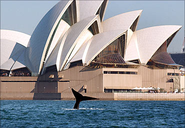 A southern right whale shows its tail in front of the Sydney Opera House.