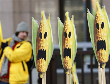 A Greenpeace activist displays signs symbolising genetically modified maize crops.