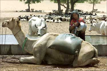 A villager pours water into a bag on a camel's back.